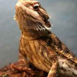 Baby Bearded Dragon Cage Maintenance