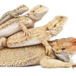 Baby Bearded Dragon Lifespan