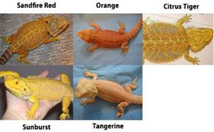 Bearded Dragon Species