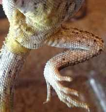 Bearded-dragon-yellow-fungus
