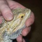 How to Administer Oral Medication to Your Pogona