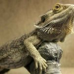 Pogona Behaviors