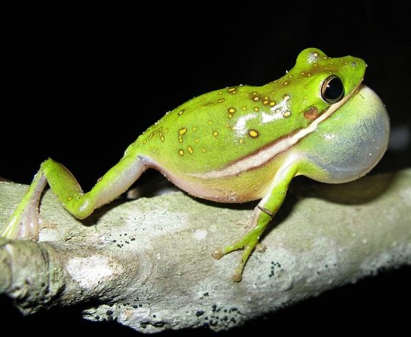 Amercan green tree frog care
