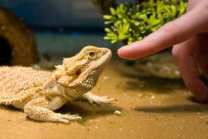 Are Bearded Dragons the Pet for You