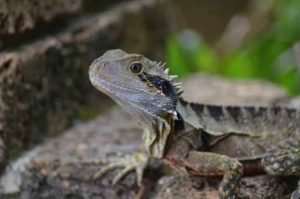 Bearded Dragon Care Tips