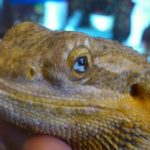 Bearded Dragon Eye Infection