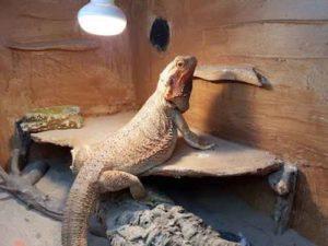 Bearded Dragon Heat Lamp