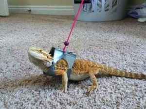 Bearded Dragon Leashes