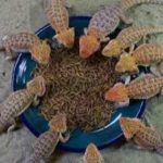 Bearded Dragon Mealworms