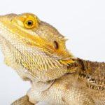Bearded Dragon Names list