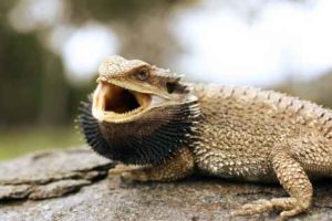 Bearded Dragon Open Mouth
