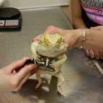 Bearded Dragon Veterinary Care