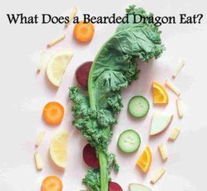Bearded Dragons Vegetables