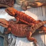 Breeding Bearded Dragons