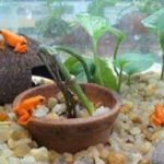 Breeding Mantella Frogs