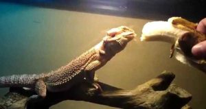 Can Bearded Dragon Eat Bananas