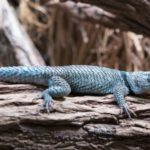 Desert Spiny Lizard Care Sheet