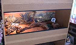 Desert Spiny Lizard Care