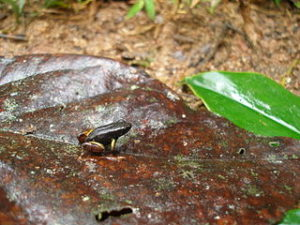 Feeding Mantella Frogs