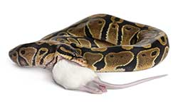 Feeding Your Snake
