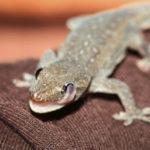 House Gecko Care Sheet