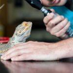 Insurance For Bearded Dragons