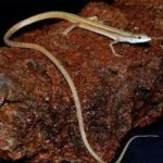 Long Tailed Grass Lizard Care Sheet
