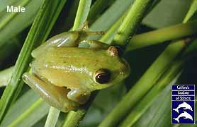 Male Argus Reed Frog