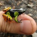 Mantella Frog Care Sheet