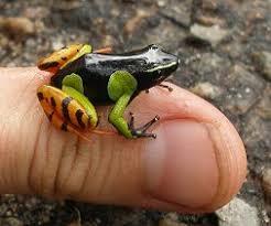 Mantella Frog Care Sheet