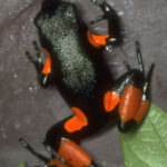 Mantella Frog Temperature