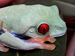 Red Eye Tree Frog Care Sheet