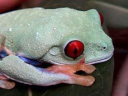 Red Eye Tree Frog Care Sheet