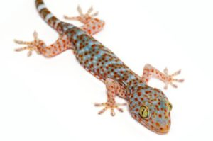 Tokay Gecko Care Sheet