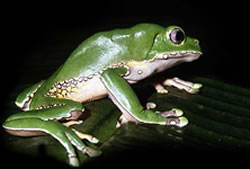 Tropical Tree Frog Care Sheet