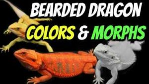 Types of Bearded Dragons