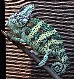 Yemen Chameleon Care Sheet