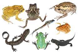 amphibians picture chart