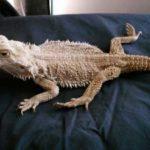 bearded dragon Metabolic Bone Disease