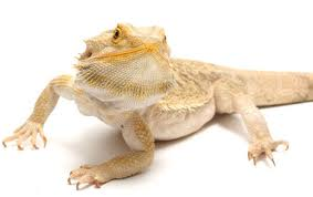 buy baby bearded dragons online