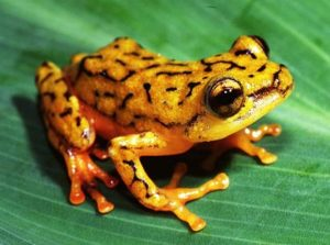 common reed frog care sheet