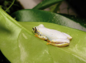 common reed frog for sale