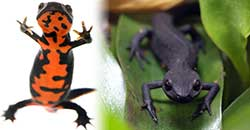 fire-bellied-newt