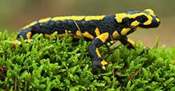 fire-salamander