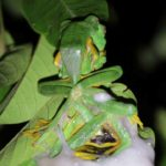 flying frogs mating