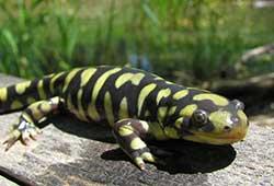 tiger-salamander-ambystoma-mavortium