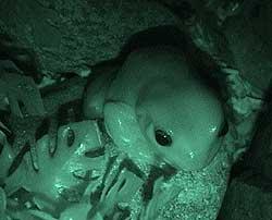 whites-treefrog-night