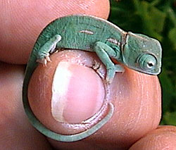 yemen chameleon baby