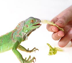 young-iguana-being-fed
